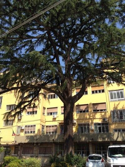 Cedro del Libano, Quartiere Avvocata, Napoli