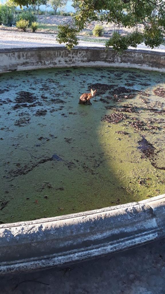 La volpe caduta nella vasca del canforo monumentale